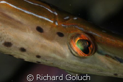 Eye of a Trumpetfish-Canon 5D 100 mm macro by Richard Goluch 